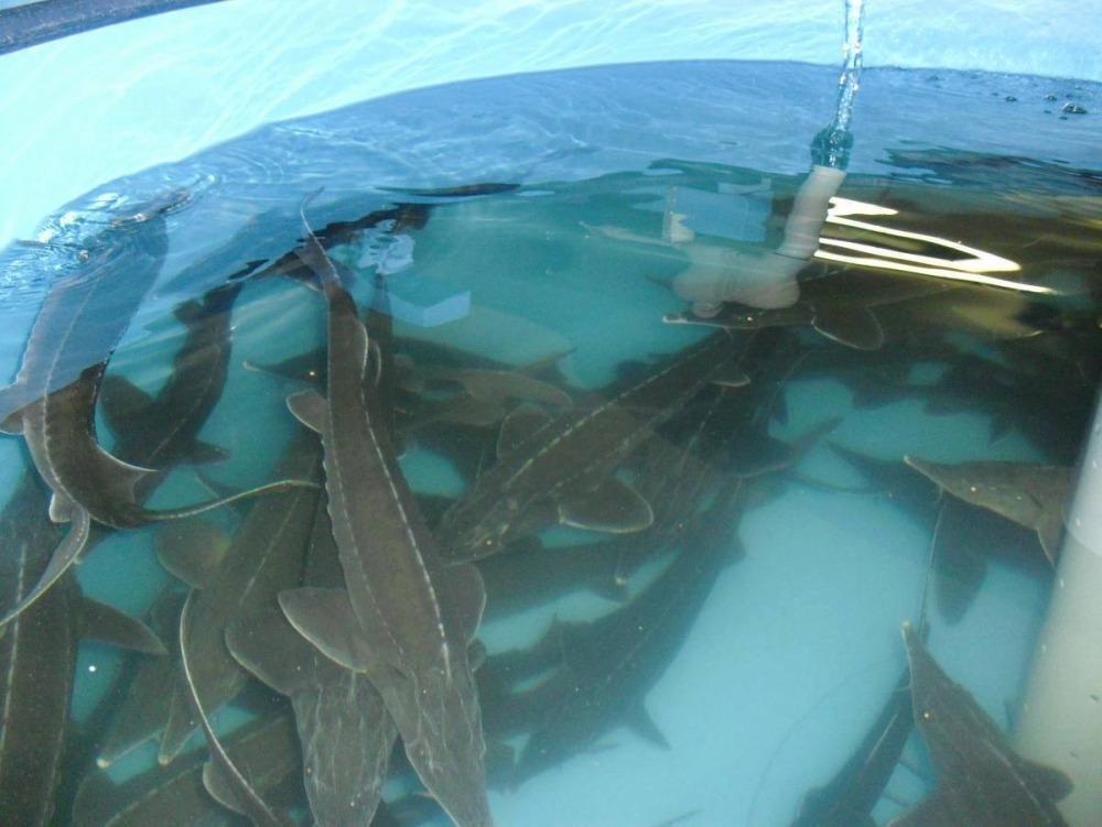 Более 130 миллионов рублей будет выделено на поддержку аквакультуры в Вологодской области в 2019 году
